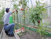 Arbeider die de tomatenstruiken in de serre verwerken stock footage