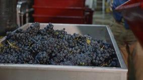 Arbeider die een bak van wijnpers vullen met vers geoogste druiven stock videobeelden
