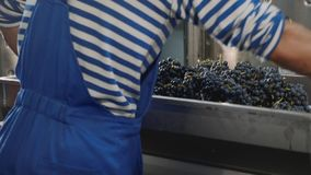 Arbeider die een bak van wijnpers vullen met vers geoogste druiven stock footage