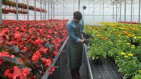 Arbeider die in een bloempot lopen Landbouwingenieur die in serre werken stock video