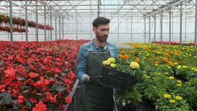 Arbeider die in een bloempot lopen Landbouwingenieur die in serre werken stock footage