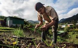 Arbeider het groeien bieslook in Midden-Amerika Royalty-vrije Stock Foto