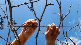 Arbeider om wijngaard te binden stock foto's