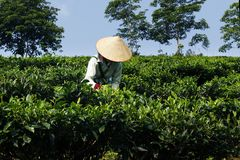 Arbeider in theeaanplanting stock foto