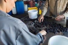 Arbeiders controleren geoogste olijven in fabriek royalty-vrije stock afbeelding