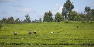 Arbeiders die thee in Kenia plukken stock afbeelding