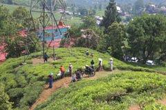 Arbeiders op theeaanplantingen in Puncak, Indonesië Stock Foto
