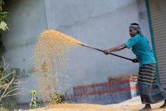Arbeiders uitgespreid maïsgewas voor het drogen bij een in het groot korrelmarkt Stock Afbeeldingen