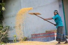 Arbeiders uitgespreid maïsgewas voor het drogen bij een in het groot korrelmarkt Stock Foto