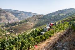 Arbeiders in vinyard die graps plukken stock afbeelding
