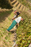 Arbeiders in Wijngaard Stock Foto