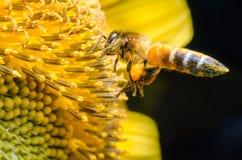Arbeidersbij die nectar van zonnebloemen verzamelen Stock Foto's