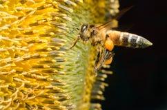 Arbeidersbij die nectar van zonnebloemen verzamelen Royalty-vrije Stock Foto's