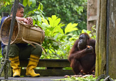 Arbeiderszitting neer naast orangoetan na dagelijks het voeden bij Rehabilitatieproject Borneo Stock Afbeelding