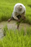 Arbeit über das Reisfeld in Asien lizenzfreie stockbilder