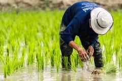Arbeit auf dem Reisgebiet Stockfotos