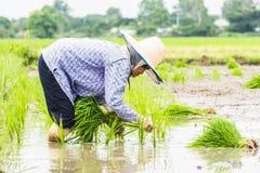 Arbeit auf dem Reisgebiet Stockbild