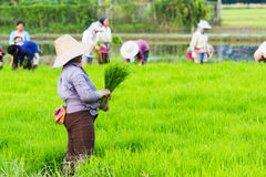 Arbeit auf dem Reisgebiet Lizenzfreies Stockbild