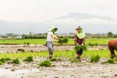 Arbeit auf dem Reisgebiet Lizenzfreies Stockfoto