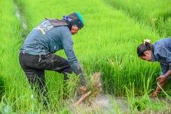 Arbeit auf dem Reisgebiet Stockfoto