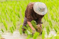 Arbeit auf dem Reisgebiet Stockfotografie