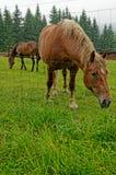 Arbeit und Rennpferde auf einem grünen Hochland weiden am regnerischen Nachmittag Stockfotos