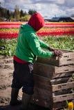 Arbeiten in den Tulpenfeldern Stockbild