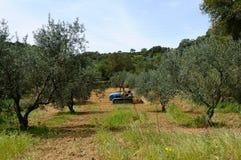 Arbeiten im Olivenhain Lizenzfreie Stockbilder