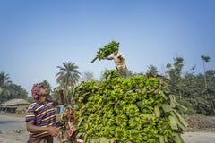 Arbeiten laden zum Aufnahmenpackwagen auf grünen Bananen Stockfotos