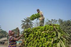 Arbeiten laden zum Aufnahmenpackwagen auf grünen Bananen Stockbilder
