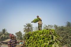 Arbeiten laden zum Aufnahmenpackwagen auf grünen Bananen Stockbild