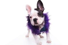 Arbeiten Sie das Hündchen der französischen Bulldogge um, das purpurrote Pelzjacke trägt Stockbild