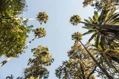 Arbeiten Sie mit den Palmen im Garten, die von unterhalb gesehen werden und auf den blauen Himmel von Sevilla zeigen stockfotografie