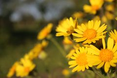 Arbeiten Sie mit gelben Blumen mit Unschärfe im Hintergrund im Garten stockfotos