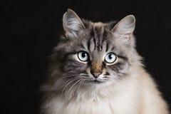 Arbeiten Sie Porträt einer siamesischen Katze mit blauen Augen um Stockbild