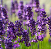 Arbeitet makro grüne Blüte des violetten Lavendels des Naturverheerenden feuers Betriebsim garten Lizenzfreies Stockbild