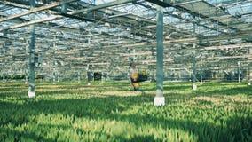 Arbeitnehmerin trägt einen Kasten Tulpen über dem Grün stock video