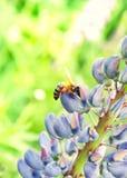 Arbeitsbiene auf Blume Lizenzfreies Stockfoto