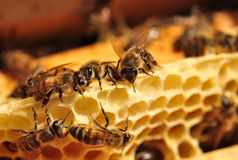 Arbeitsbienen Stockfotos