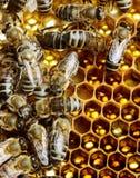 Arbeitsbienen auf Bienenwabe Lizenzfreie Stockbilder