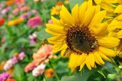 Arbeitsbienen auf der blühenden Sonnenblume Stockfotos