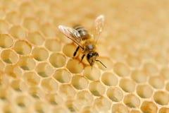 Arbeitsbienen auf Honigzellen Lizenzfreies Stockfoto