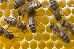 Arbeitsbienen im Bienenstock Lizenzfreies Stockfoto