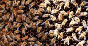 Arbeitsbienen im Bienenstock Bienen wandeln Nektar in Honig um und bedecken ihn in den Bienenwaben stock video