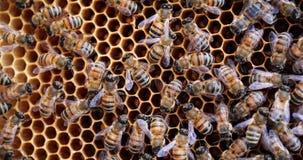 Arbeitsbienen im Bienenstock Bienen wandeln Nektar in Honig um und bedecken ihn in den Bienenwaben stock video footage
