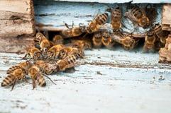 Arbeitsbienenmakroschuß Stockbild