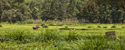 Arbeitskräfte auf den Teegebieten Stockfotos