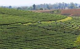 Arbeitskräfte auf einem grünen Gebiet, das den grünen Tee erntet Stockfoto