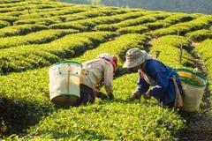 Arbeitskräfte, die grüne Teeblätter in einer Teeplantage ernten Stockfotos