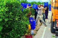 Arbeitskräfte, die orange Obstgärten ernten Stockfoto